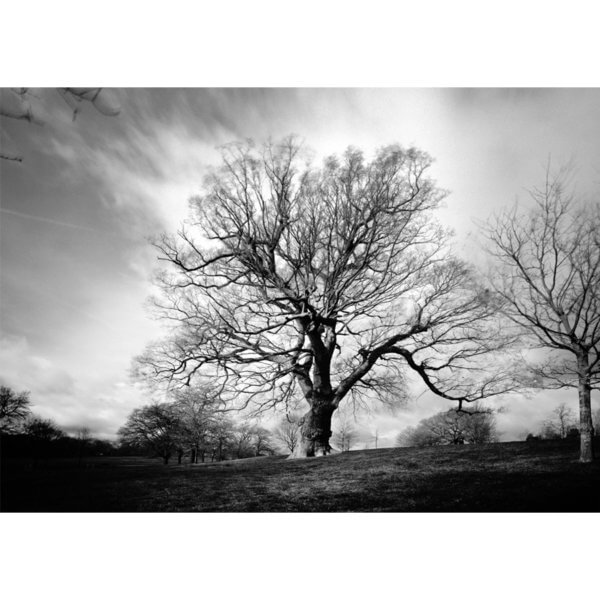 David Whyte Quercus Brockwell Park 600x600 - Quercus Robus Brockwell Park by David Whyte