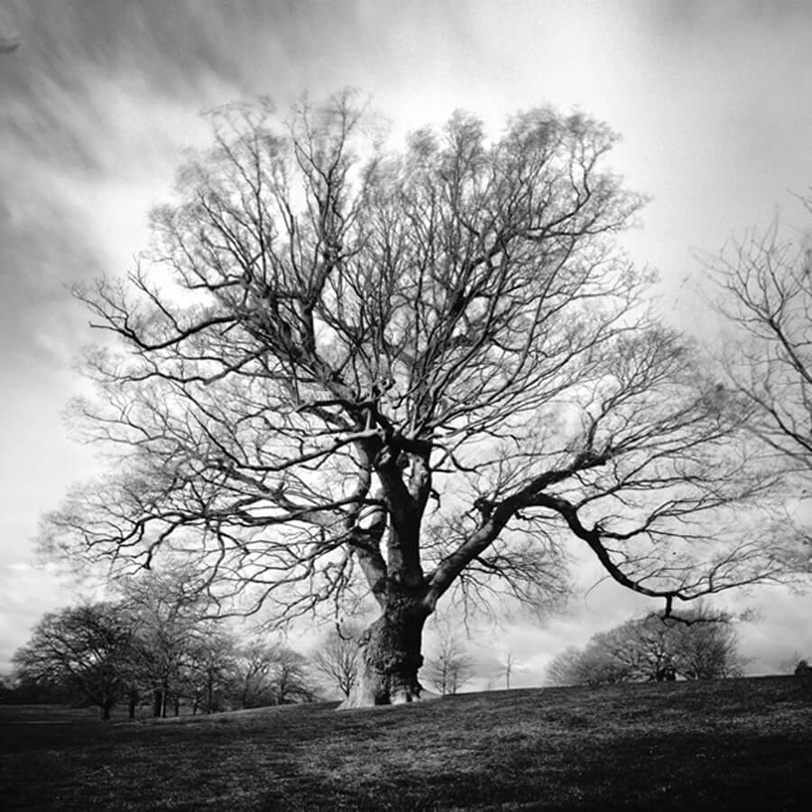 David Whyte Quercus Brockwell Park crop - Quercus Robus Brockwell Park by David Whyte
