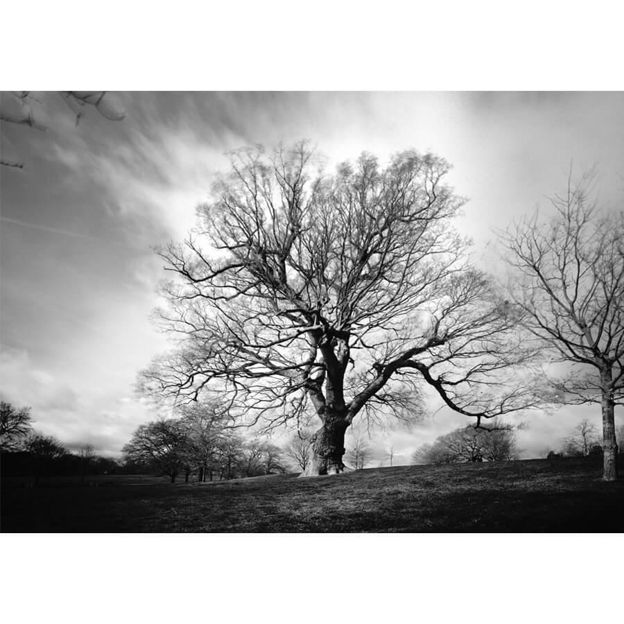 David Whyte Quercus Brockwell Park - Quercus Robus Brockwell Park by David Whyte