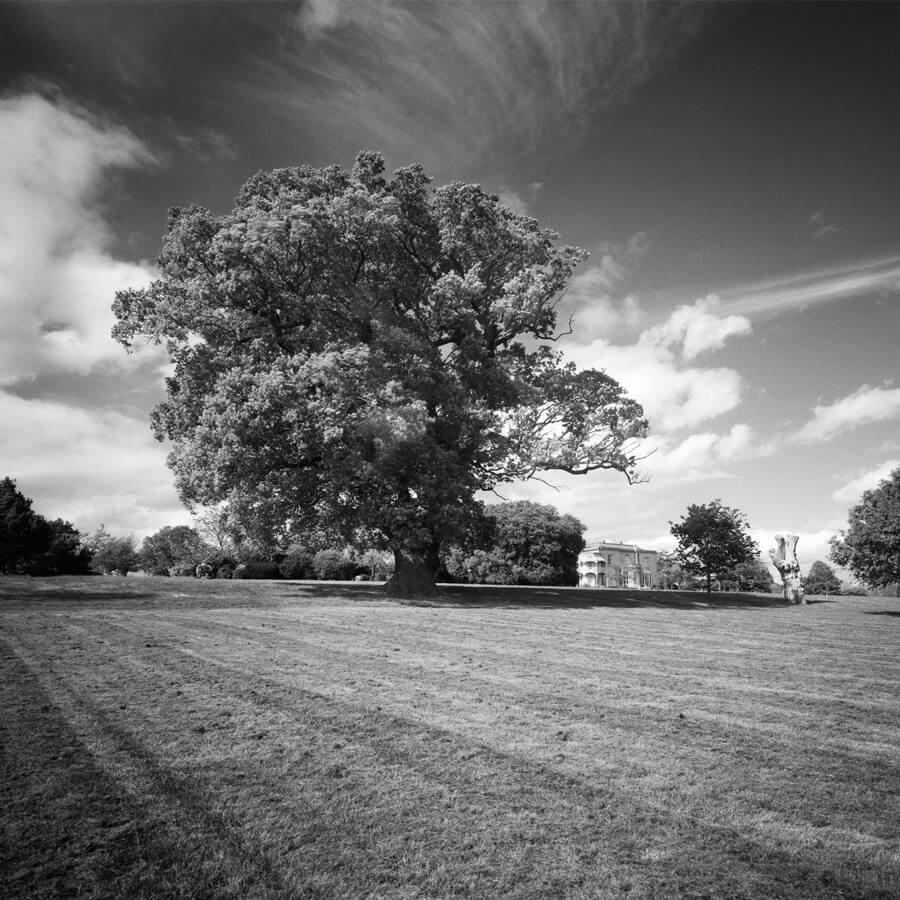 David Whyte Quercus Brockwell crop - Quercus Robur Brockwell Hall by David Whyte