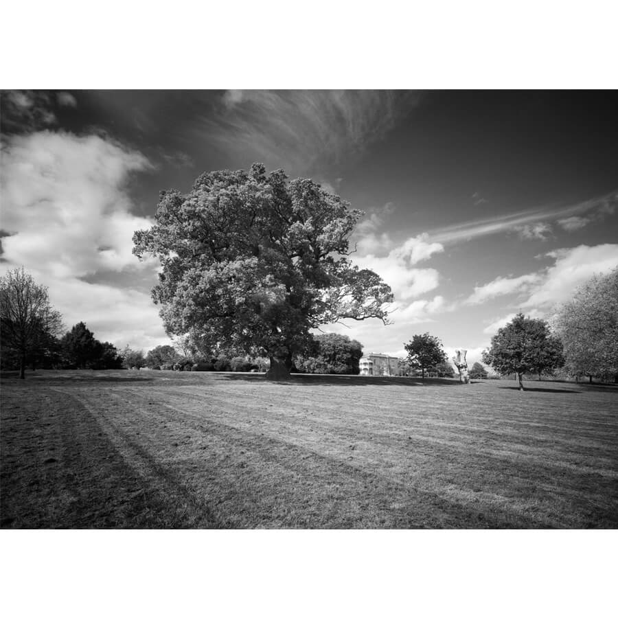 David Whyte Quercus Brockwell - Quercus Robur Brockwell Hall by David Whyte