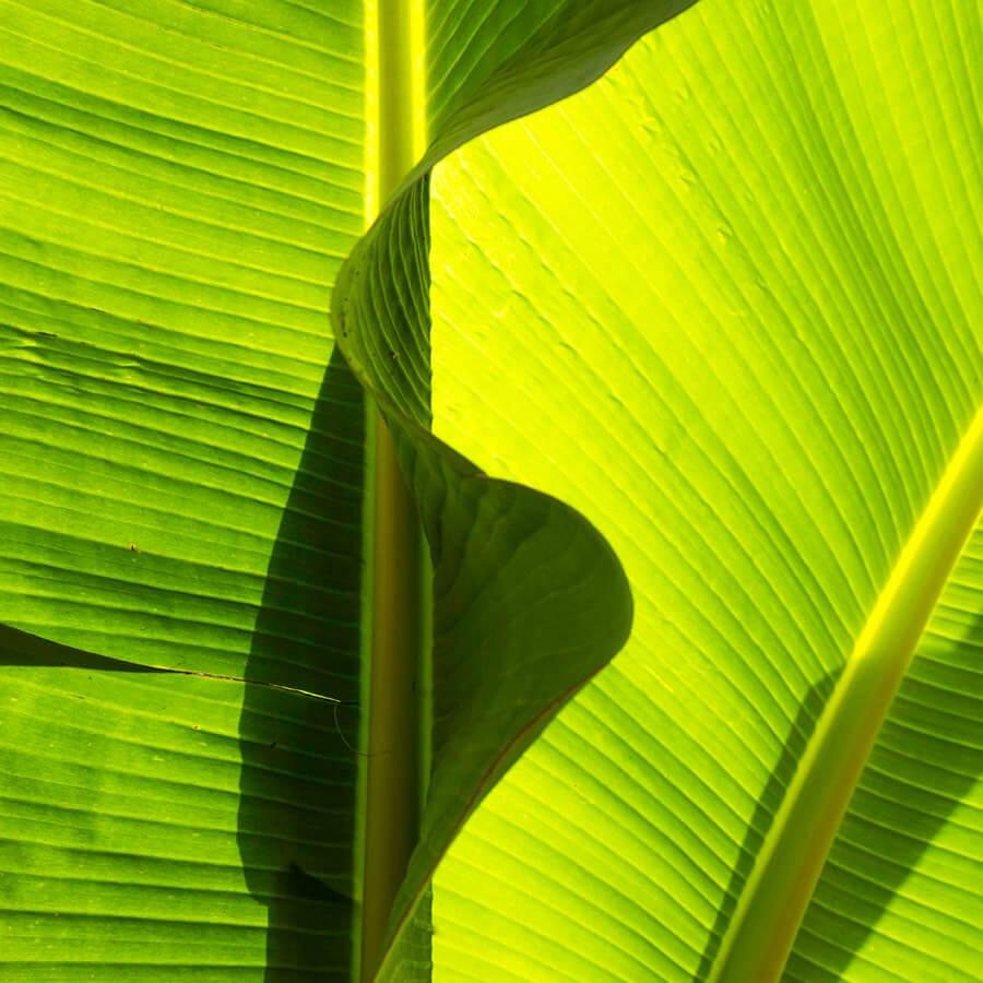 Michelle Levie Banana abstraction crop - Banana Abstraction by Michelle Levie