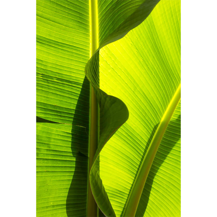Michelle Levie Banana abstraction - Banana Abstraction by Michelle Levie