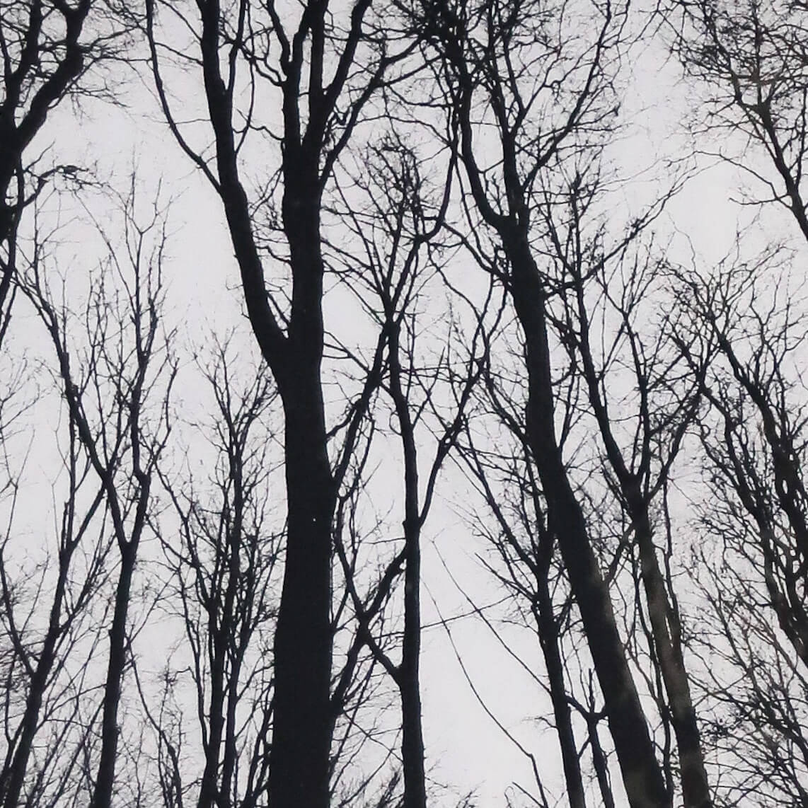 N58A3005 copy - Chorus of the Trees in Black and White III by Clare Grossman