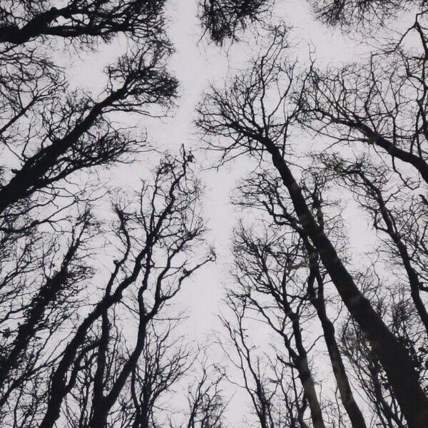 N58A3006 copy 600x600 - Chorus of the Trees in Black and White II by Clare Grossman