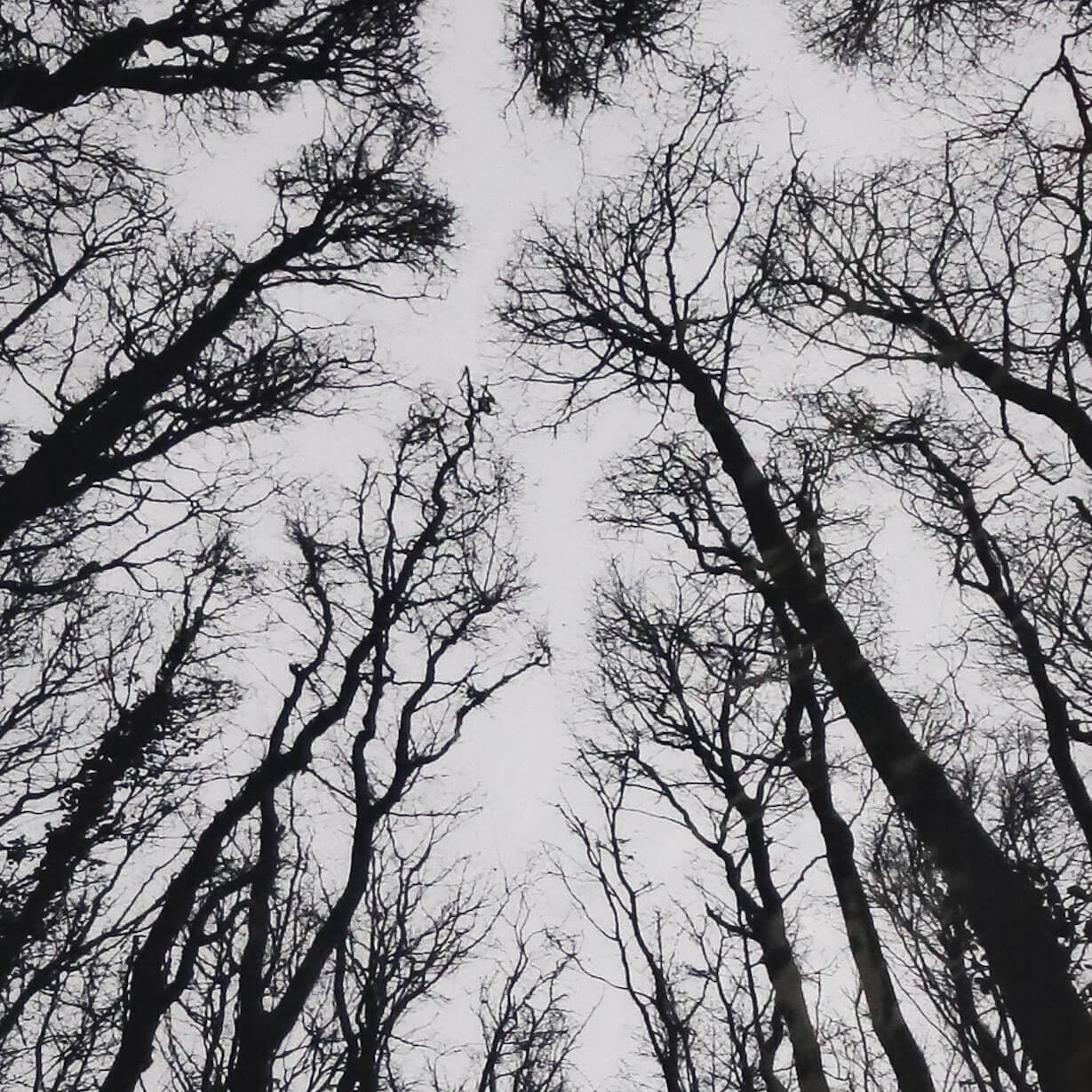 N58A3006 copy - Chorus of the Trees in Black and White II by Clare Grossman