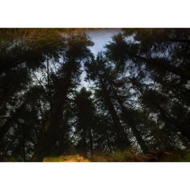 Langholm Trees II