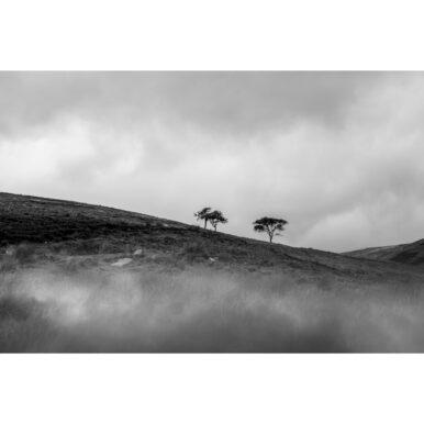 Langholm Trees IV
